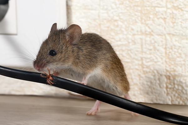 Rat Control at Home